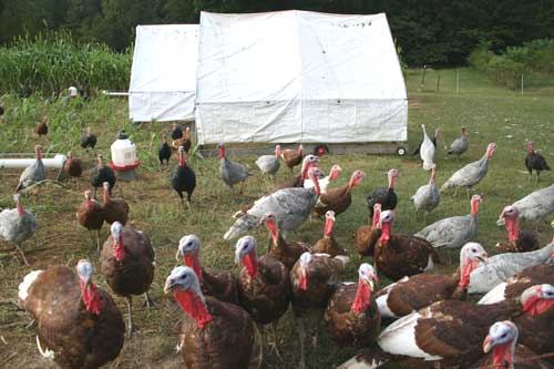turkeys gather in front of shelters