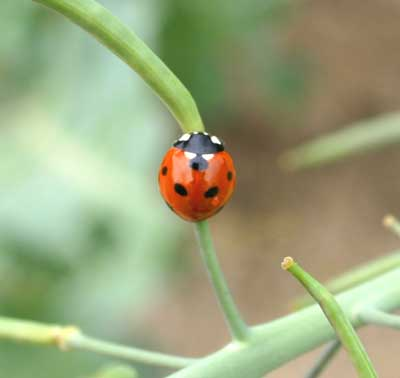 seven-spotted lady beetle (Coccinella septempunctata) on brassica seed pods