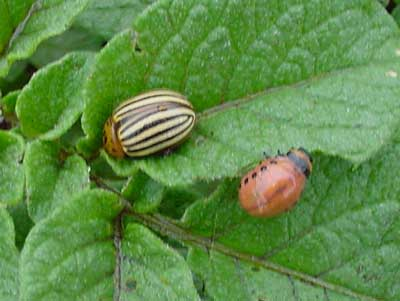 Colorado potato beetle adult and larva on potato