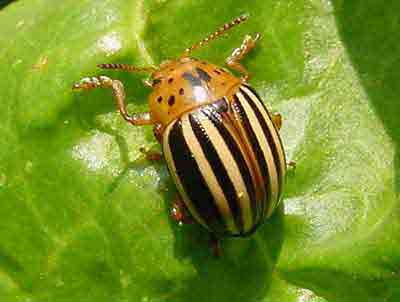 Colorado potato beetle adult on chard