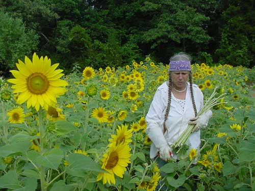 sunflower cover crop
