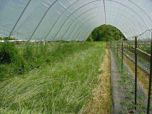 cover crops in the Haygrove tunnel