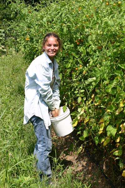 Kate harvests tomatoes