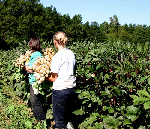 Emily and Melissa with turnip harvest