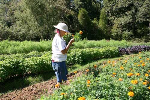 Cathy harvests marigolds