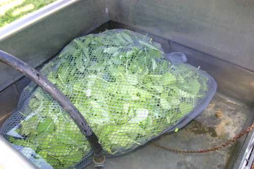 Salad mix soaks in laundry bag