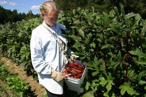Melissa harvests okra