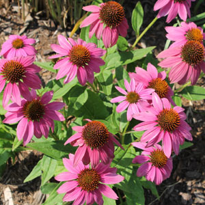 Echinacea purpurea 'Pow-wow Wildberry'
