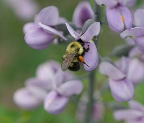 bumble bee on Baptisia