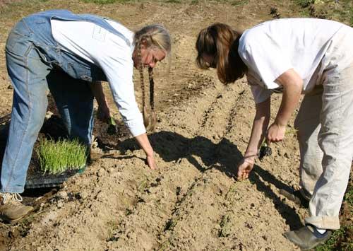planting leeks
