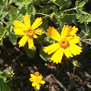 Coreopsis pubescens 'Sunshine Superman'