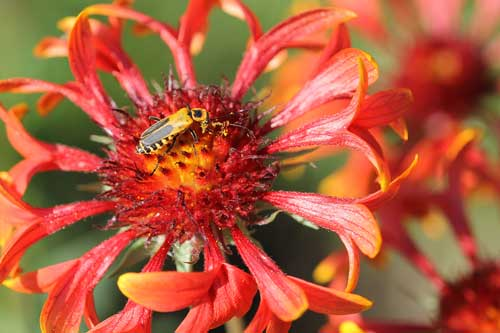 Gaillardia with soldier beetle