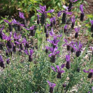 Lavandula stoechas 'Purple Ribbons'