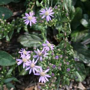 Symphyotrichum concolor