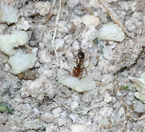 fire ant worker with bait