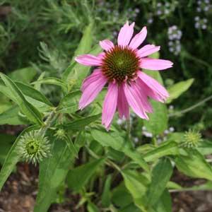 Echinacea purpurea 'Kim's Knee High'