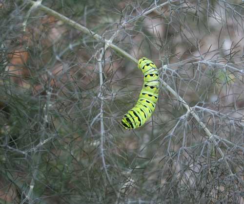 Swallowtail larva