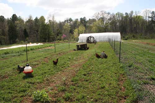 Hens foraging at the Land Lab.