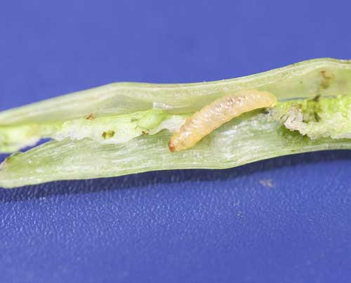 weevil larva