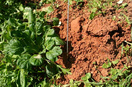 fire ant mound in vegetable bed