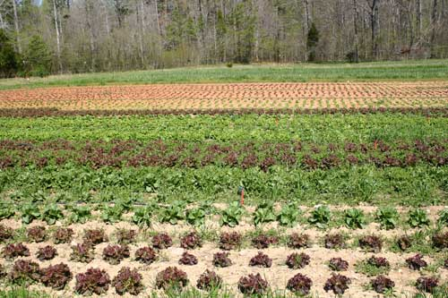 newly planted lettuce field