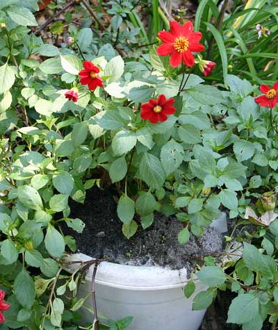 fire ant colony in container dahlia