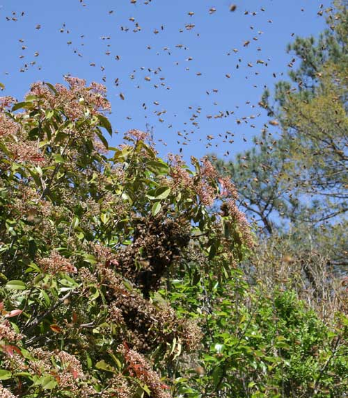 how to tell if bees are going to swarm