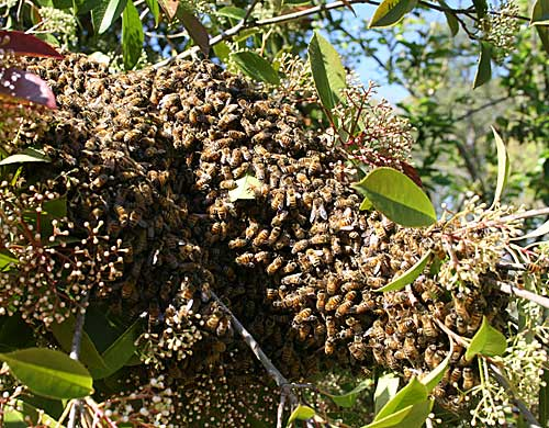 swarm in bush