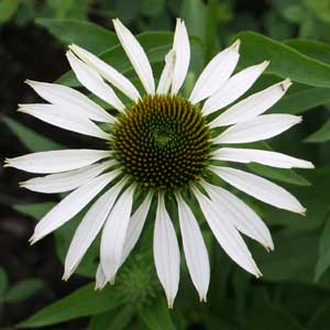 Echinacea purpurea 'Fragrant Angel'