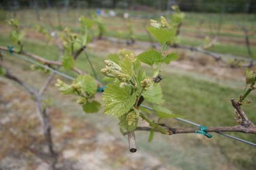 new growth on grape vine