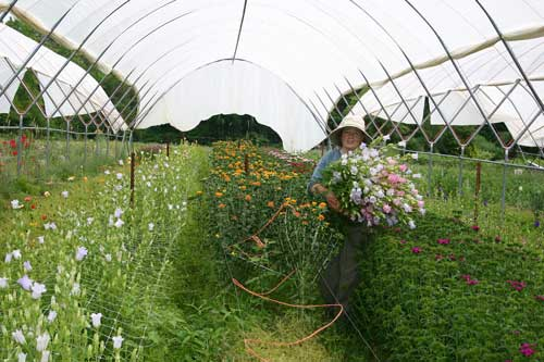 Betsy harvests flowers under the Haygrove tunnel