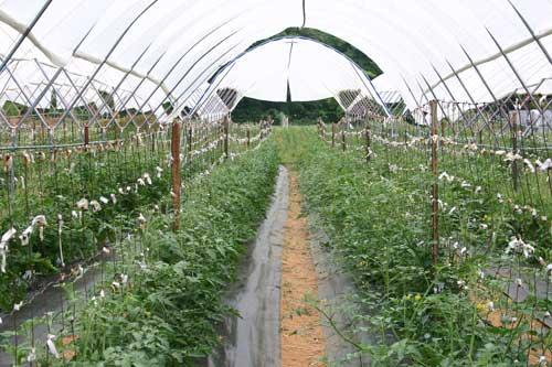 tomato crop in Haygrove tunnel