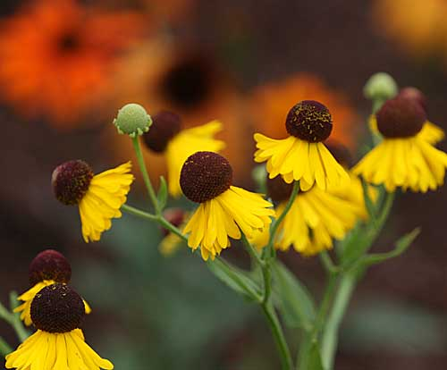 Helenium and Echinacea