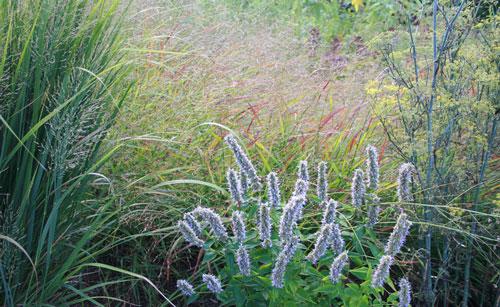 Native switchgrasses (Panicum virgatum) with anise hyssop