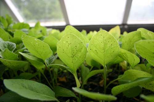 eggplant transplants in greenhouse