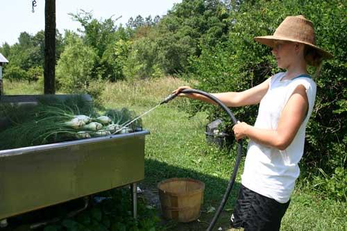 washing fennel