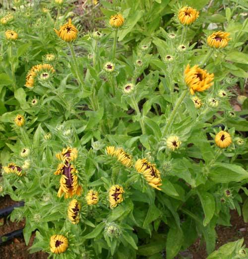 Rudbeckia plant displaying symptoms