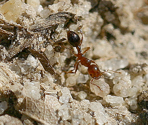 fire ant worker