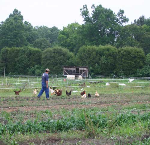 Mike rounding up renegade chickens