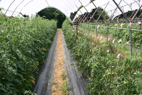 side by side rows showing diseased and stunted plants on right
