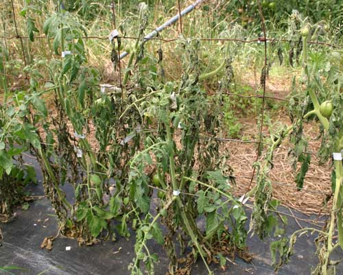 wilting plants