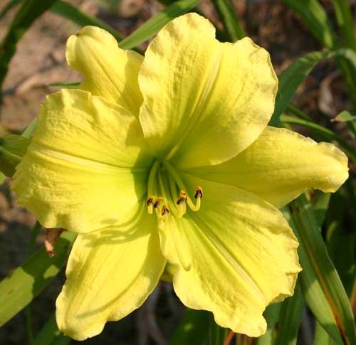daylily bloom