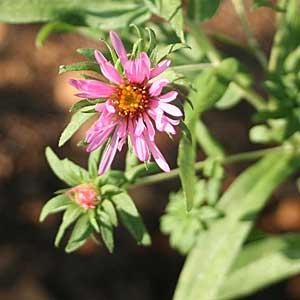 Symphyotrichum novae-angliae