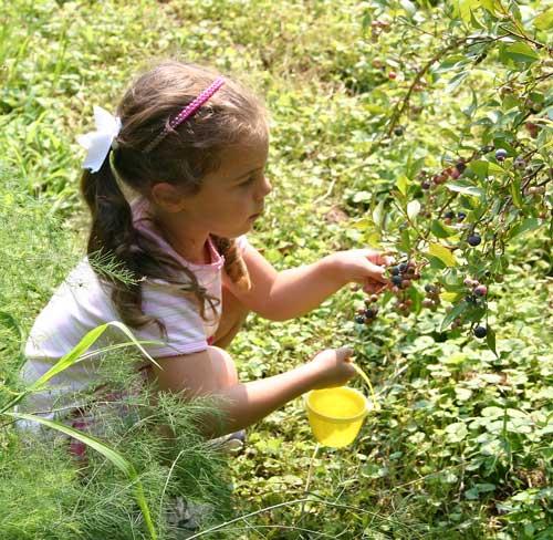 Holly picks berries