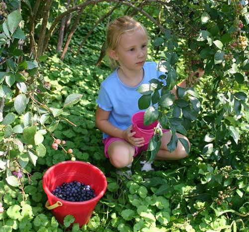 Lillie picks berries