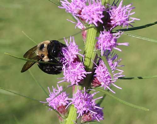 Carpenter bee on Liatris