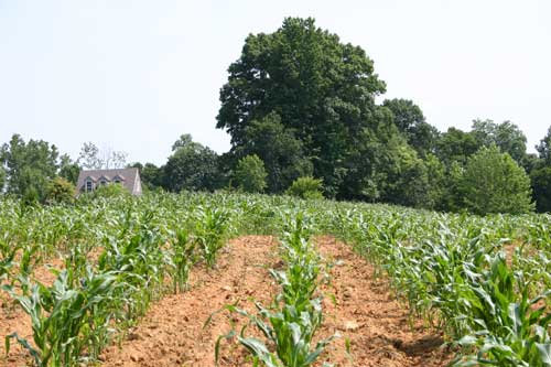 young field of corn