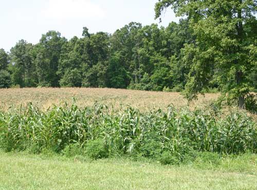 mature field of corn