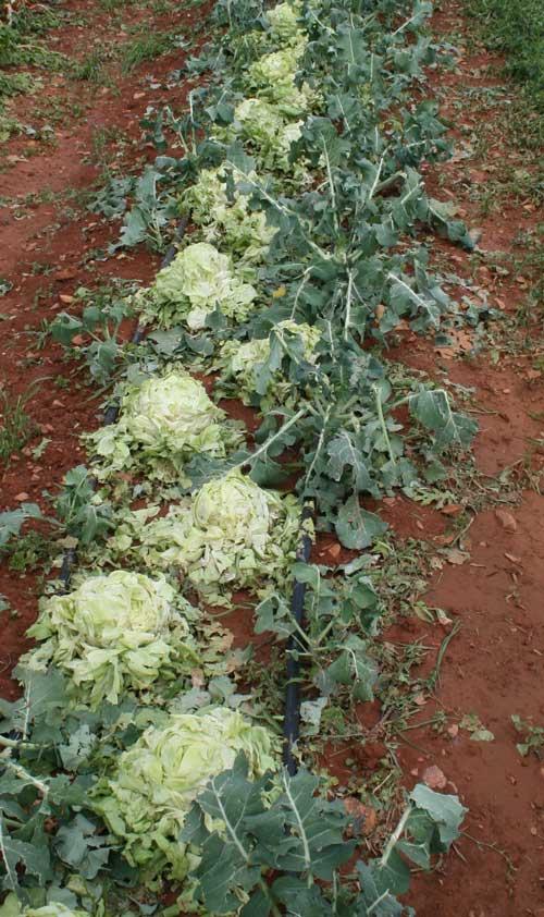brocolli and lettuce