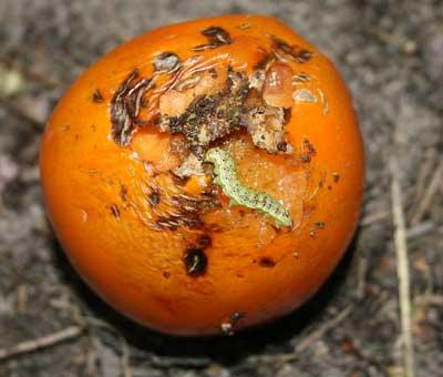 tomato fruitworm